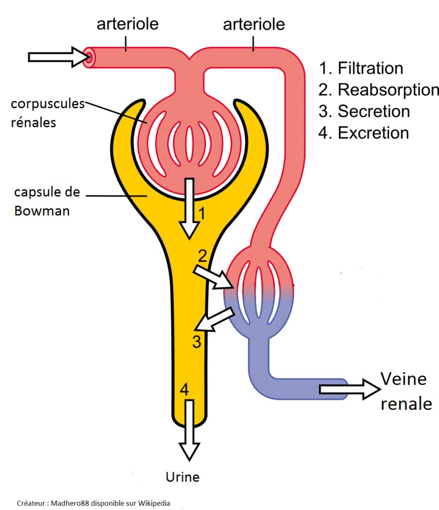 Fonctionnement d'un néphron